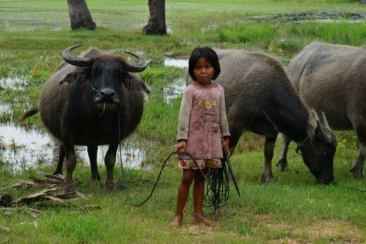 Tending to the buffalo in Siem Reap