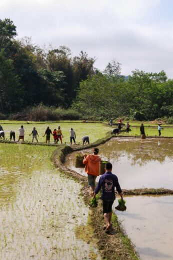 Working in the Rice Field in Laos