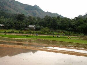 Work in the paddy fields