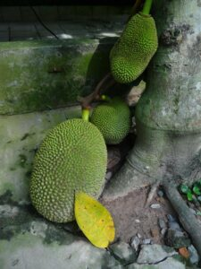 Jackfruit growing on treetrunk