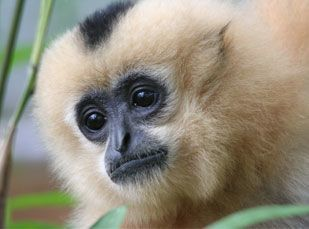 One of the gibbons at Nam Cat Tien