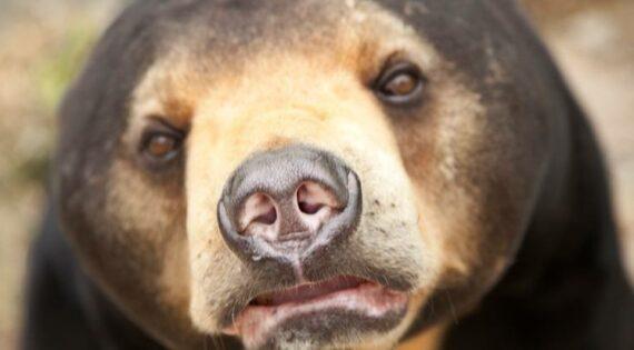 A rescued bear at Phnom Tmao