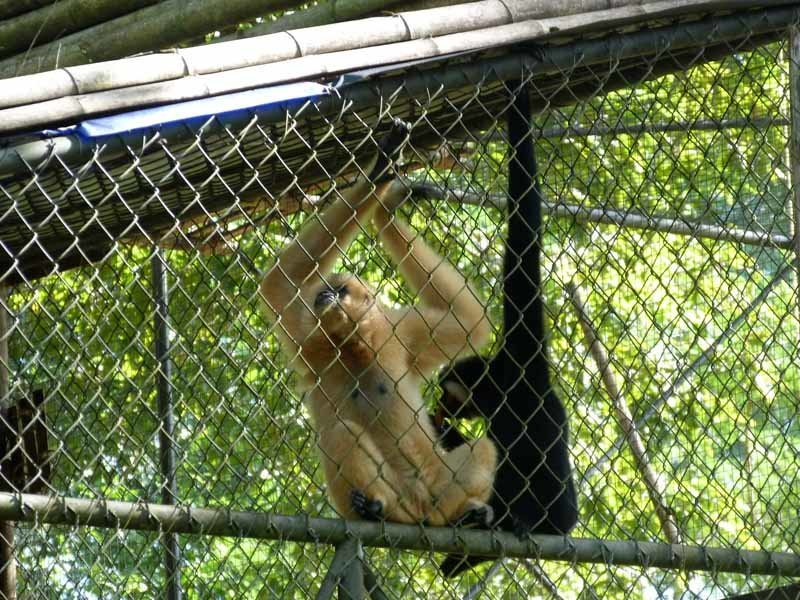 Gibbons in recuperation