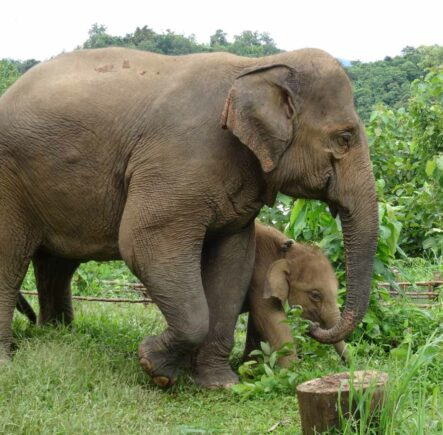 An elephant mother and calf in Sayaboury, Laos