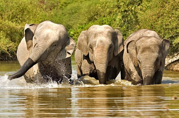 Endangered Asian elephants are among those species who call the Cardamoms home (Photo: koh-kong-cambodia.com)
