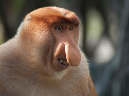 Proboscis monkey - Alastair Donnelly