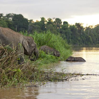 Elephant on the banks of the Kinabatangan River