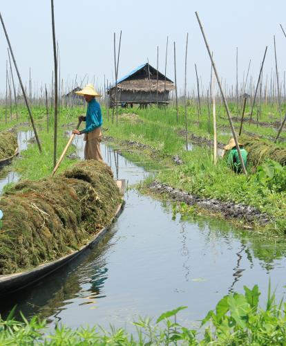 Harvest time on Inle Lake