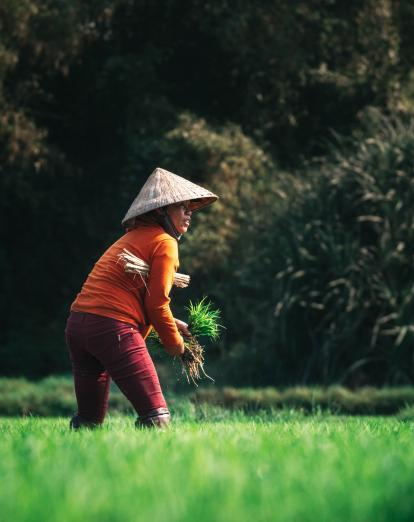 Rice farming in Hoi An