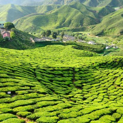 Tea plantations of Cameron Highlands