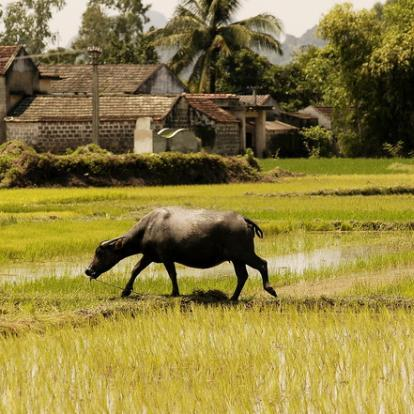 Farming with buffalo in Triem Tay village, near Hoi An