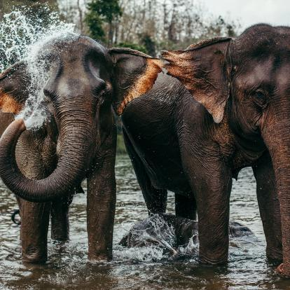 Elephants washing in the river