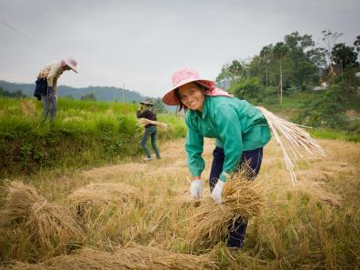 Rice farming in Muang La