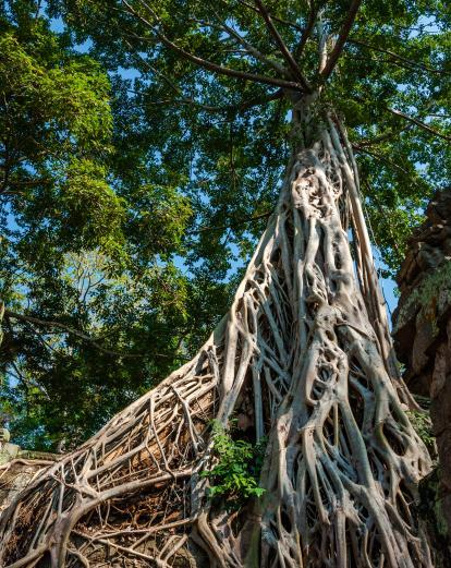 Tree roots around an ancient temple in Cambodia